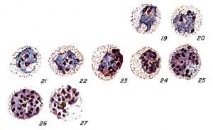 vivax schizont CDC